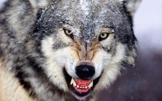 волк, ухмылка, клыки