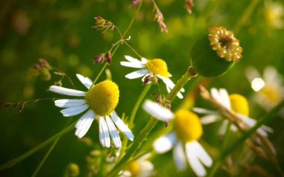макро, цветы, ромашка