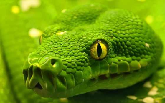 snake, zhivotnye, большие, зелёная, большими, заставки, глазами, красивые, рептилии,