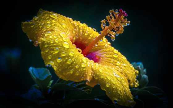 flowers, цветы, water, hibiscus, more, pinterest, drops,