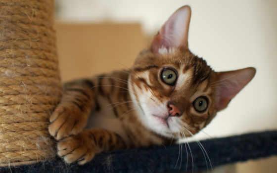 кот, бенгальский, playful,