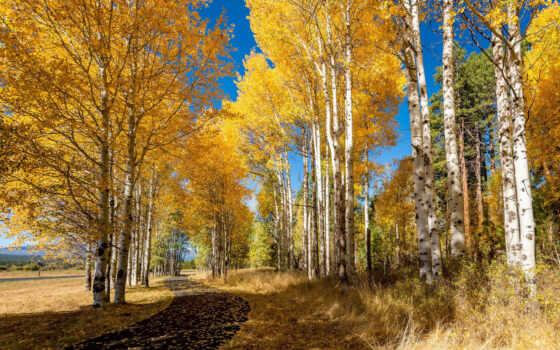 осень, береза, природа, trees, parkii, фото, коллекция, сша, june, деревьев