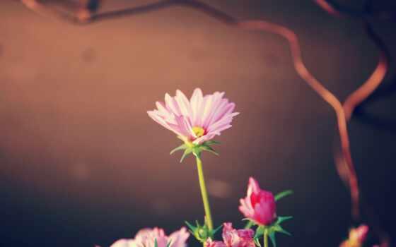 цветы, розовый, high, лепесток, flore, smartphone, mobile, цвета, versículo, подсолнух, flor