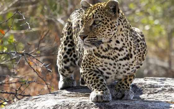 кошка, леопард