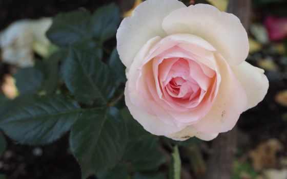 розы Фон № 70862 разрешение 2560x1600