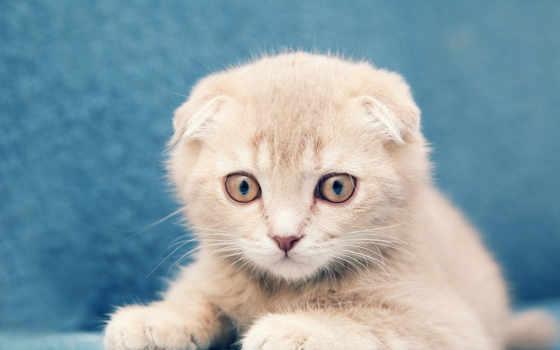 кот, котенок, вислоухий