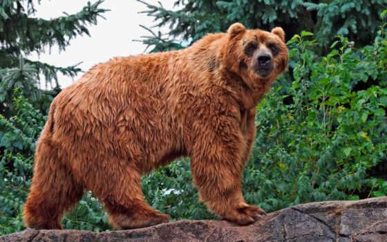 большой, мире, медведь