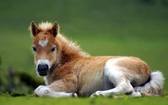 лошади, жеребенок, tolo