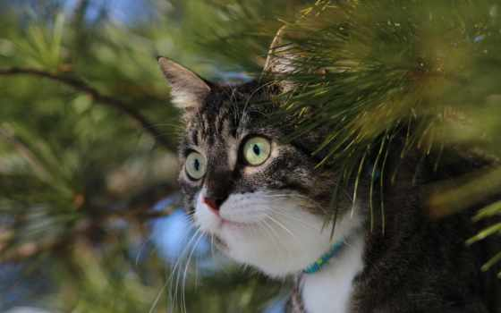 кот, short, кошки, domestic, haired,