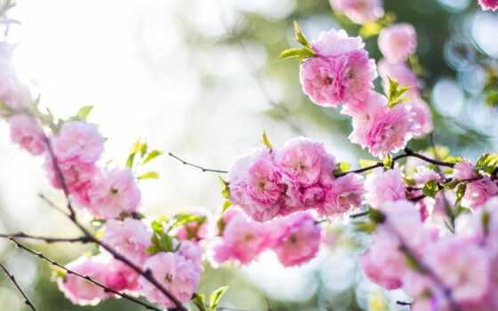 cvety, весна, коллекция, branch, розовый, Сакура, card, цветение