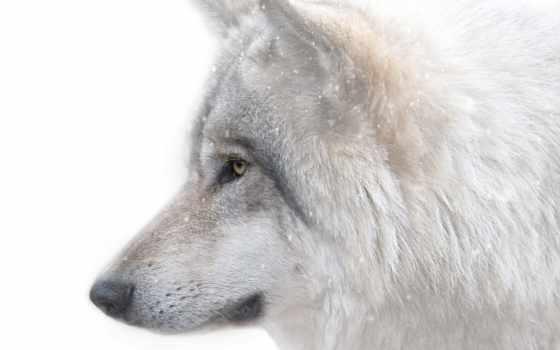 бесплатные, рисунки, собаки, фотографий, широкоформатные, загрузить, монитор, ekran, заставки, волк, zhivotnye,