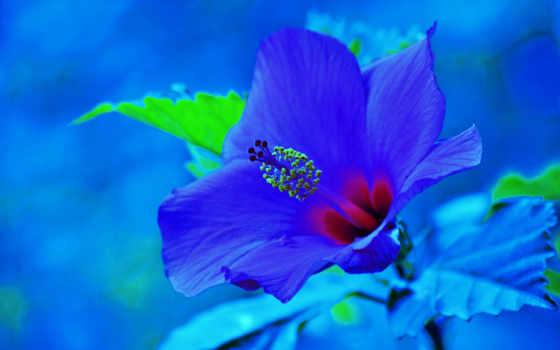 hibiskus, tapety, kwiat, pulpit, kwiaty, błękit, darmowe, czerwony,