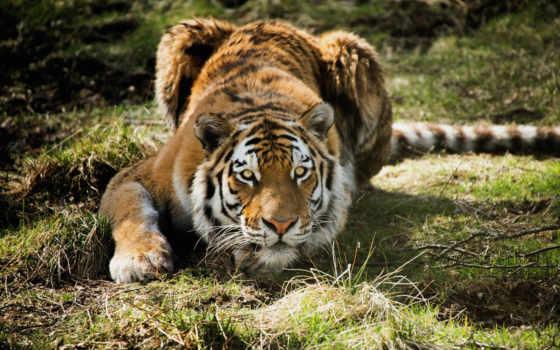 тигр, тигры, яndex