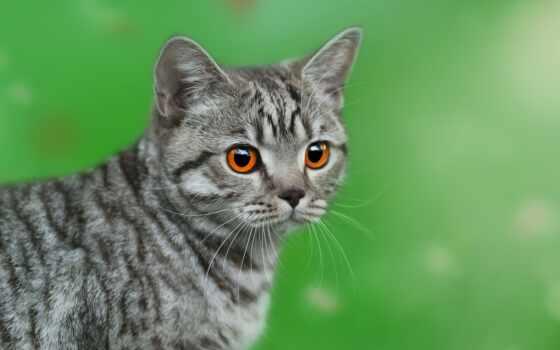 кот, дракон, взгляд, shirokoformatnyi, знать, fondo, china, порода