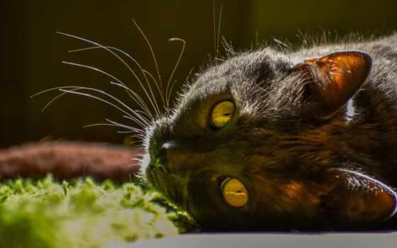 кот, domain, public, royalty, domestic, animal, kuce, pet, cute, фото, short