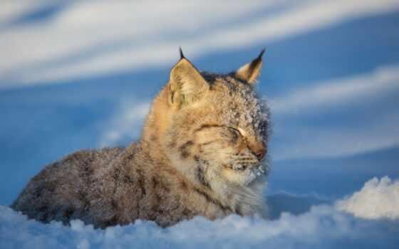 кот, рысь, хищник, снег, wild, winter, ложь, морда, animal, прищур