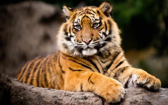 красивых, тигры