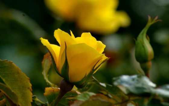 rosa, parede, amarela, papel, rosas, flor, роза,