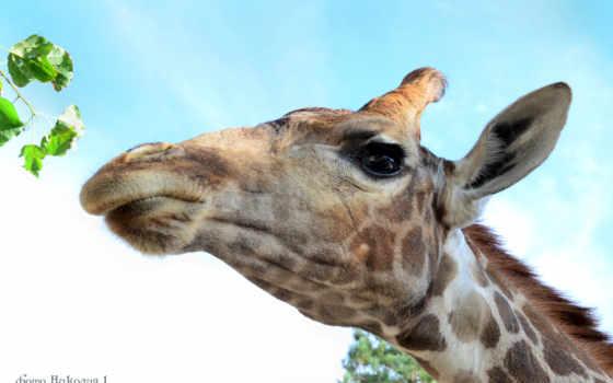 голова, жираф, глаз