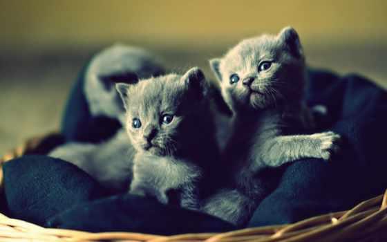 котята, кошки, вислоухие