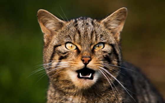 кот, усы, eyes, глаза, scream, desktop, ноутбук, mac,