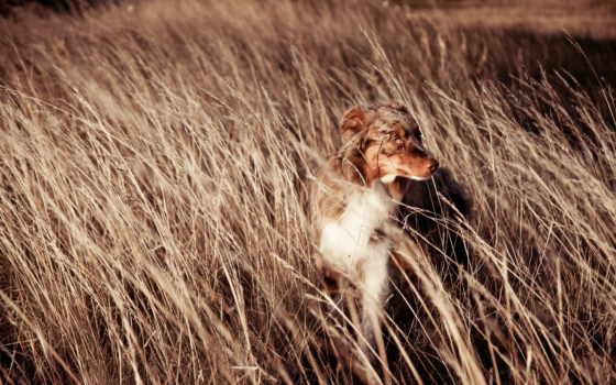 собаки, собака, собак, австралийская, dry, породы, траве, овчарка, человека, животных, могут,