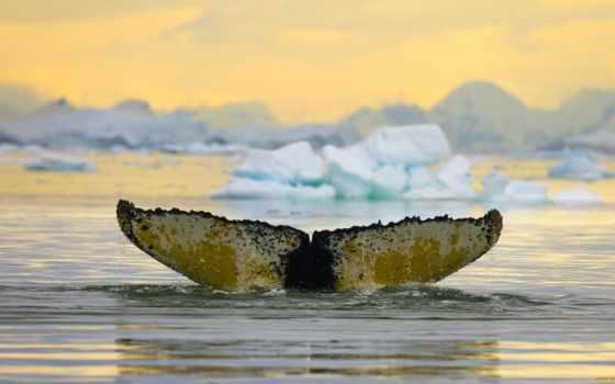 кит, humpback, антарктида, whales,
