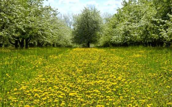 одуванчики, весна, поляна, trees, garden, цветение, природа, трава,