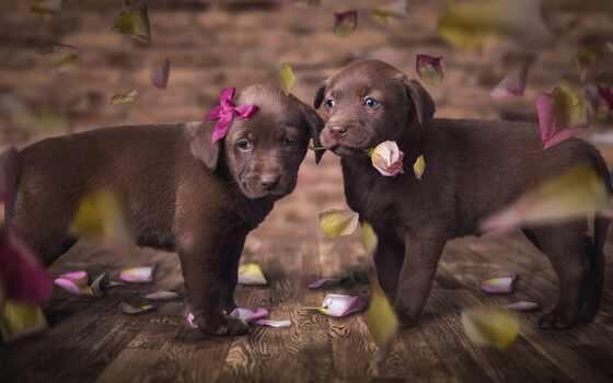 собака, retriever, animal, labrador, щенок, cute, little, цветы, колли, джин, black