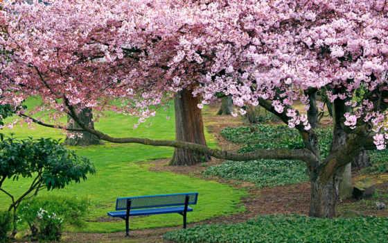 природа, вишня, деревья