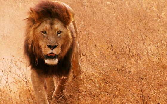 lion, грива, кот Фон № 56858 разрешение 2560x1440