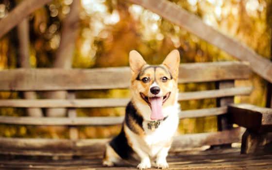 вельш, corgi, породы, кардиган, собака, разрешениях, собаки, разных, зооклубе, картинка, сидит,
