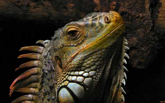 году, драконы, природы, iguana, ящер, системы, линнеем, современности, изданий, гребнем,