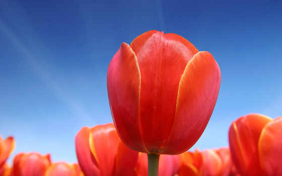 тюльпаны, красные Фон № 15872 разрешение 1920x1200