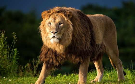 lion, грива, хищник