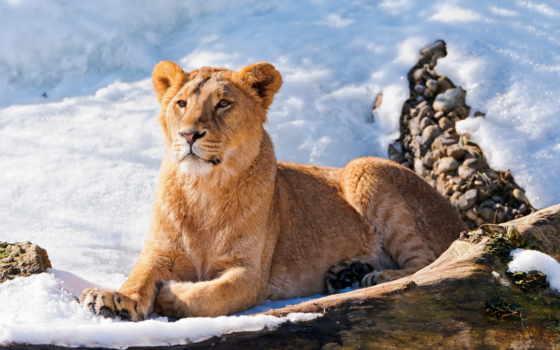 lion, снегу, львица