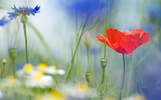 полевые, cvety, ромашки