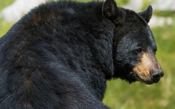 медведь, зверь, хищник