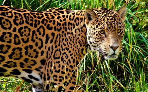 jaguar, кот, хищник Фон № 107774 разрешение 1920x1270