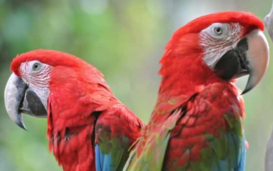 tapety, papuga, попугаи