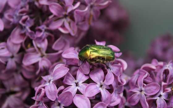 облетает, сиреневый, насекомое, бабочка, макро, insects, нояб, цветы,