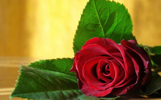 cvety, красивые, красивая, тонкий, cool, elegant, красавица, бесплатные, роза,