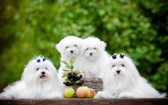 maltańczyk, собака, photos, images, dogster, psów, maltese, you,
