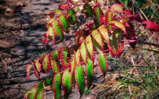 bush, пепельный, тег, pictures, природа, осенние, cheap, восход, снежинка, листва,