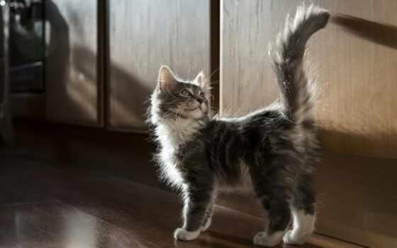 котенок, tail, серый, кот, поднять