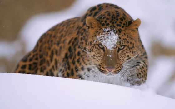 леопард, dalnevostochnyi, amur, картинка, накачать, крутой, биг, колекция, кот