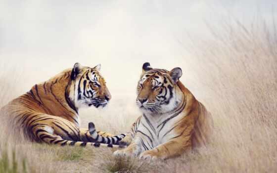 тигр, white, стена, black, заказать, animal, фреска, art