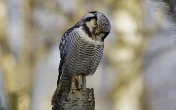 сова, птица, взгляд Фон № 75355 разрешение 1920x1080
