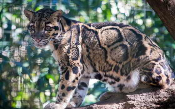 леопард, кот, дымчатый, дикая, zhivotnye, телефон, категории,