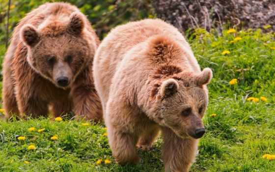 природа, красивые, природы, живая, лес, медведь, дикая, медведи, zhivotnye, браун, хищник,